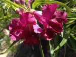 Chilopsis linearis (Desert Willow flower)