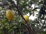 Citrus medica (Etrog) Fruit