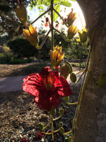 Kigelia africana (African Sausage Tree Flower)