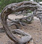 Melaleuca Bark Spiral