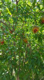 Punica granatum (Pomegranate)