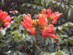 Spathodea campanulata - flowers