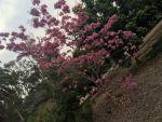 Tabebuia (Pau d'Arco) Tree