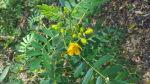 Cassia/Senna artemisioides