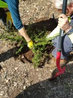 Volunteers Moving a Ceanothus