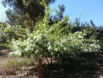 Chionanthus virginicus (Fringe Tree)