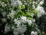 Chionanthus virginicus (Fringe Tree Blossoms)