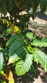 Coffee arabica (Coffee Bean)