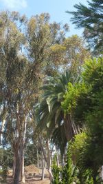 Eucalyptus and Palms