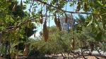 Kigelia africana (African Sausage Tree)