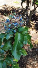 Mahonia aquifolium (Oregon Grape) Berries