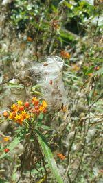 Ascelpias tuberosa (Milkweed Fluff)