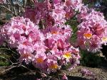 Tabebuia (Pau d'Arco) Blooms